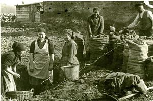 Saatkartoffeln 1948